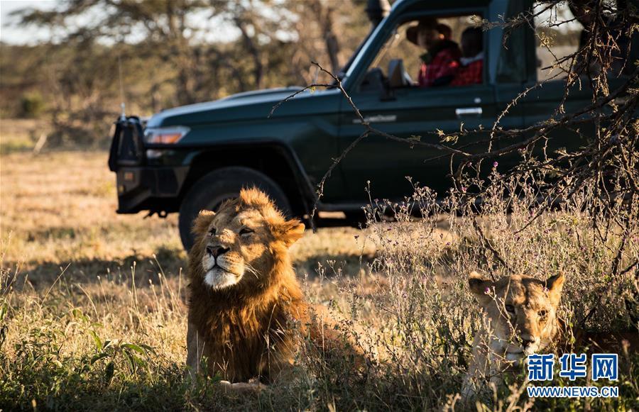 (国际・中非合作论坛・图文互动)(6)与狮同行――东非草原上的中国追梦人