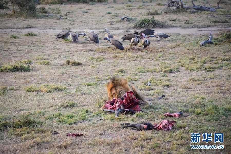 (国际・中非合作论坛・图文互动)(8)与狮同行――东非草原上的中国追梦人