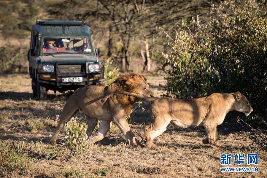 (国际・中非合作论坛・图文互动)(5)与狮同行――东非草原上的中国追梦人