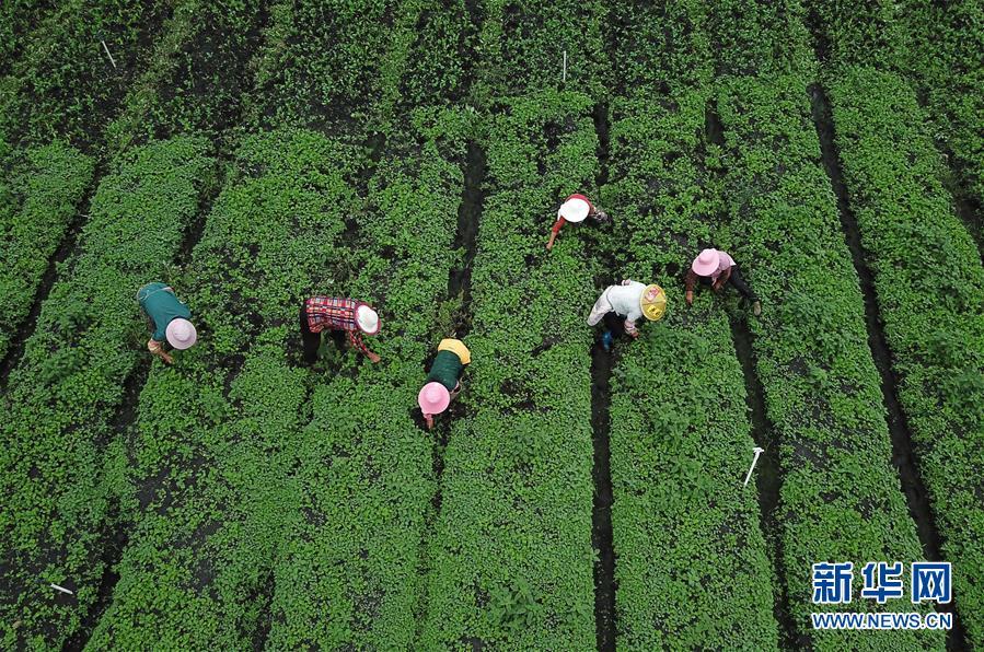 (社会)(1)贵州黔西:白露将至秋管忙