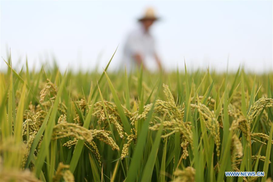 #CHINA-AUTUMN-PADDY FIELDS (CN)