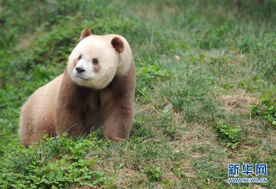 """(XHDW・图文互动)(3)秦岭棕色大熊猫:""""弃仔""""到""""七仔"""" 命运大不同"""