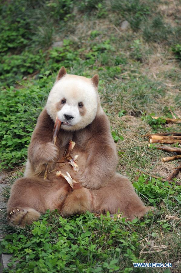 CHINA-SHAANXI-BROWN AND WHITE-QINLING PANDA (CN)