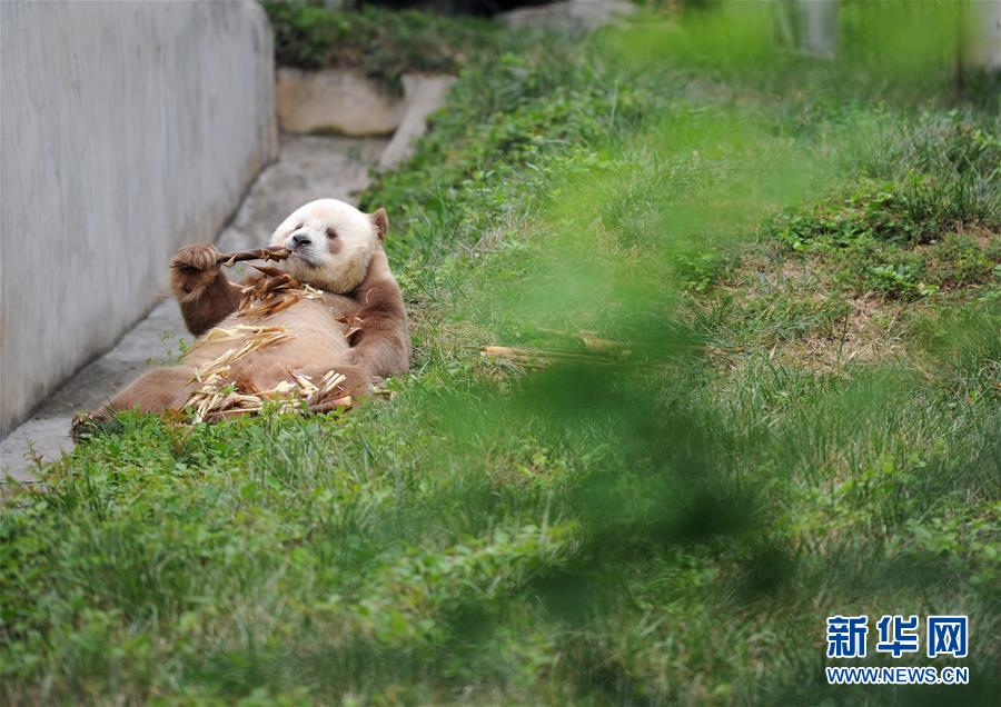 """(XHDW・图文互动)(5)秦岭棕色大熊猫:""""弃仔""""到""""七仔"""" 命运大不同"""