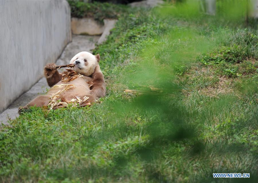 CHINA-SHAANXI-BROWN AND WHITE-QINLING PANDA (CN)