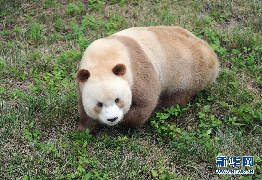 """(XHDW・图文互动)(4)秦岭棕色大熊猫:""""弃仔""""到""""七仔"""" 命运大不同"""