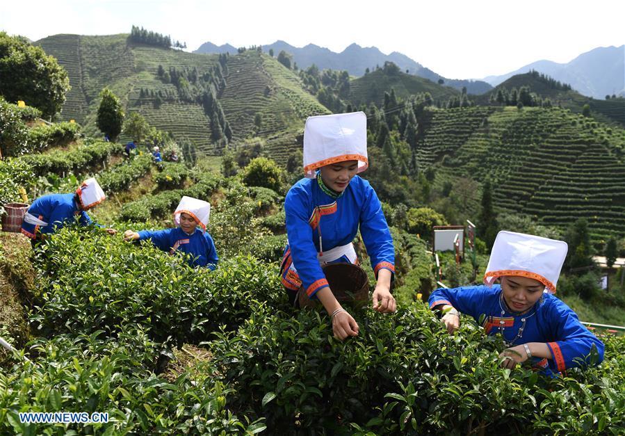 CHINA-GUANGXI-TEA-HARVEST (CN)