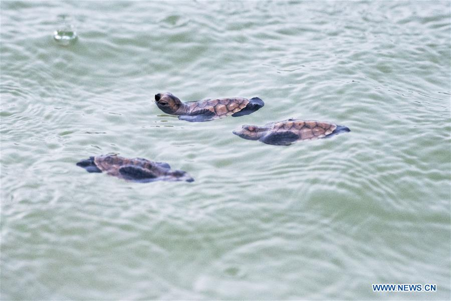 SINGAPORE-SENTOSA ISLAND-HAWKSBILL SEA TURTLE