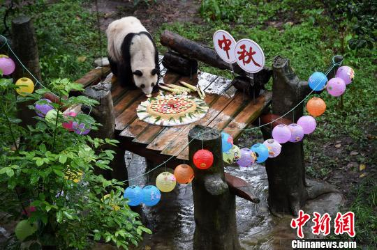 Captive giant panda Xin Xing enjoys her feast, a mooncake with fruits and bamboo shoots on its top, at Mid-Autumn Festival in southwest China's Chongqing, Sept. 23, 2018. (Photo/China News Service)