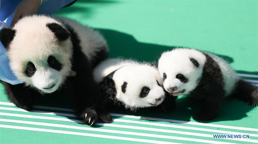 12 giant panda cubs meet public in Chengdu, SW China's Sichuan