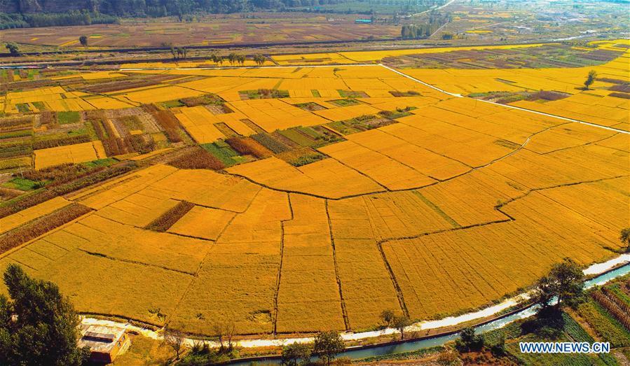 In pics: rice field in Handan, N China's Hebei