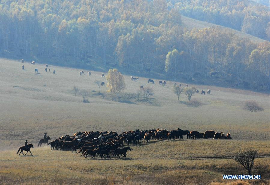 In pics: horses taming on grassland in N China's Inner Mongolia