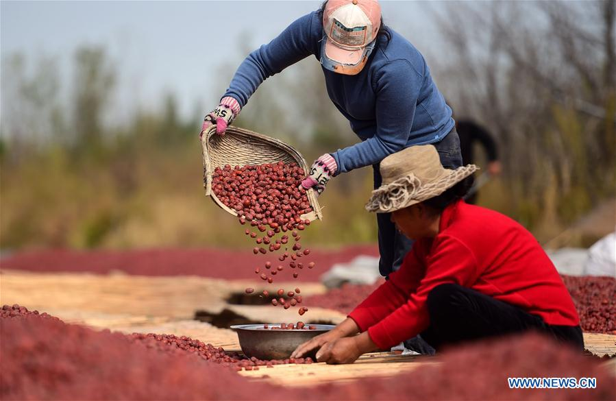 Farmers dry harvested dates in north China's Hebei
