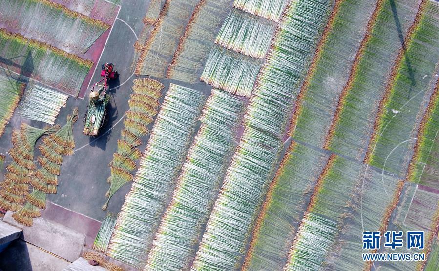 #(社会)(1)广西柳州:蔺草丰收 助农增收