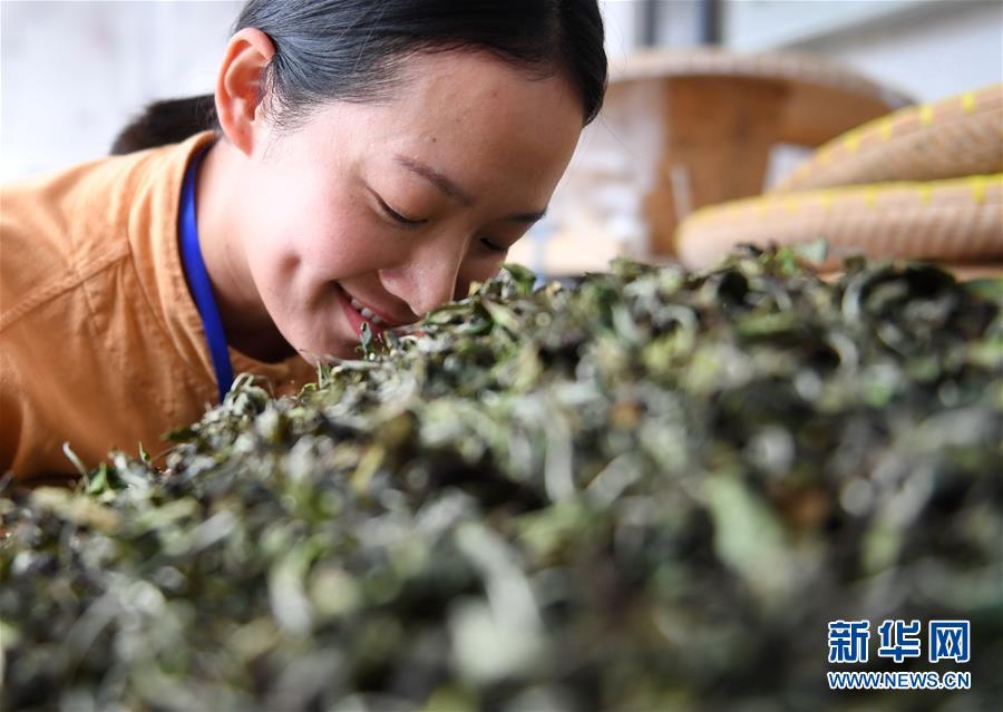 (社会)(3)福建福鼎:制茶能手比拼技艺