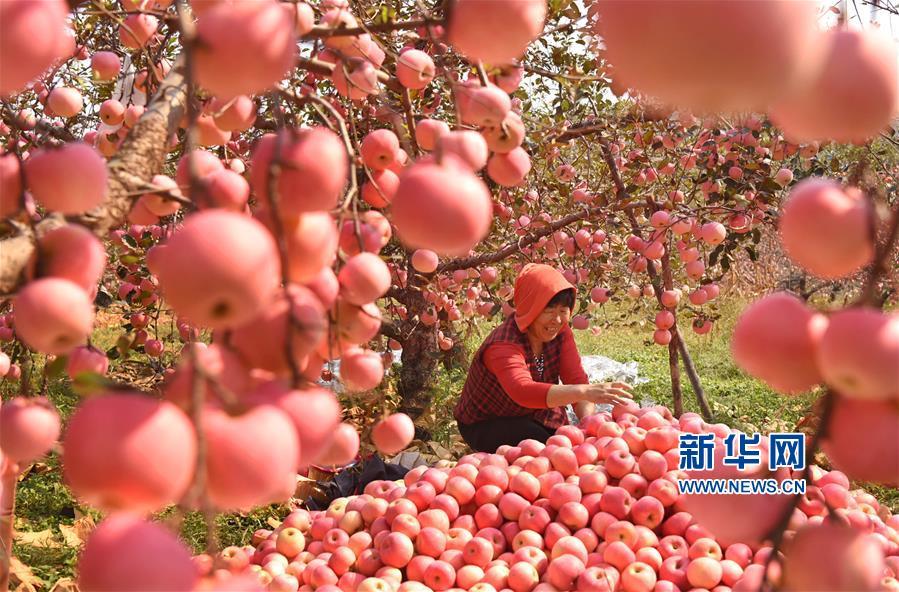 #(社会)(2)山东沂源:苹果丰收醉金秋