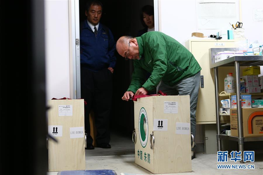 (国际)(4)中国提供的一对朱鹮抵达日本佐渡朱鹮保护中心