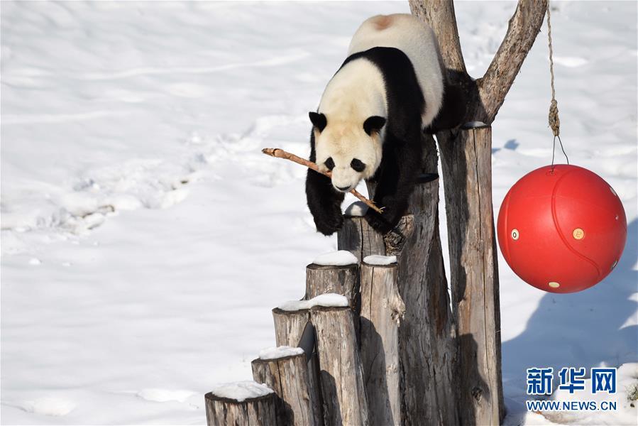 大熊猫迎来了又一个雪季