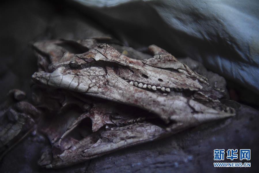 (科技)(7)吉林大学科研团队发现恐龙牙釉质波纹构造的最早记录