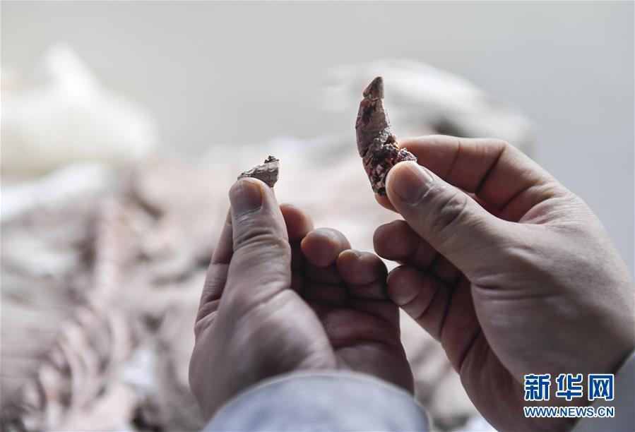 (科技)(4)吉林大学科研团队发现恐龙牙釉质波纹构造的最早记录