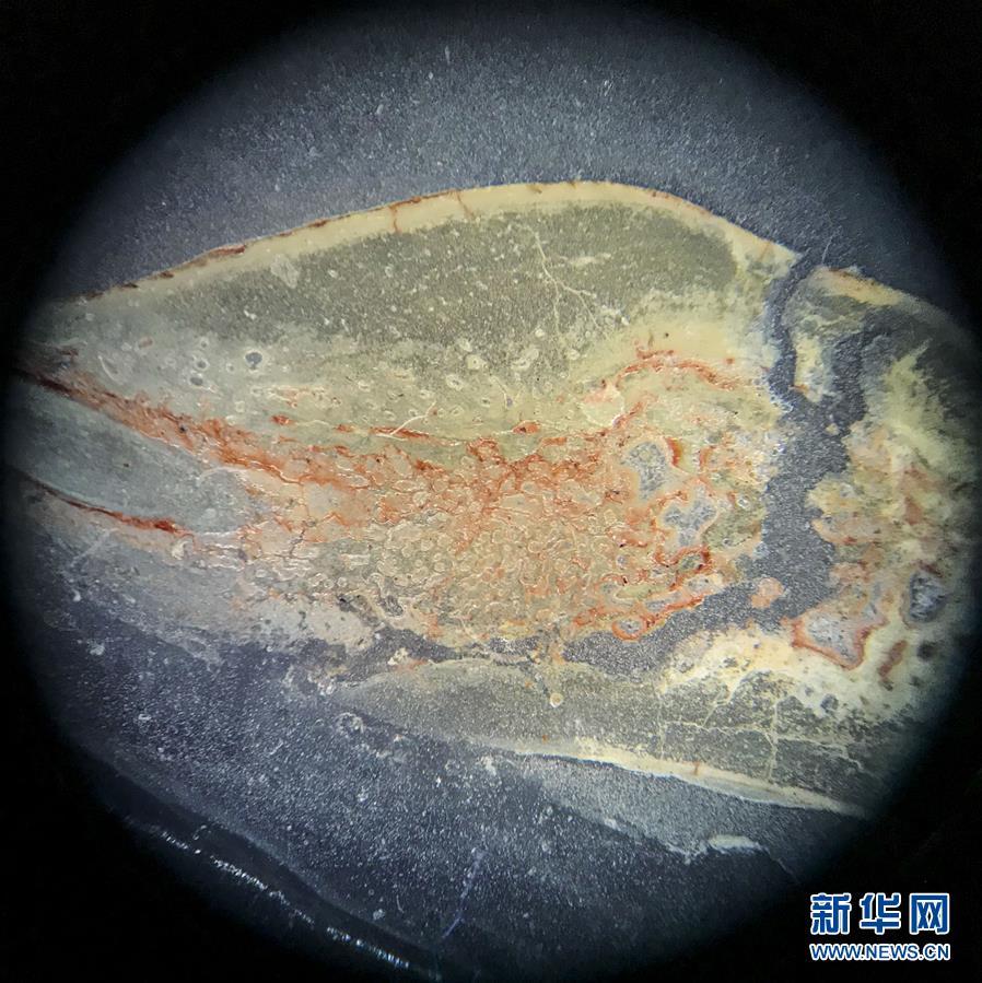 (科技)(3)吉林大学科研团队发现恐龙牙釉质波纹构造的最早记录