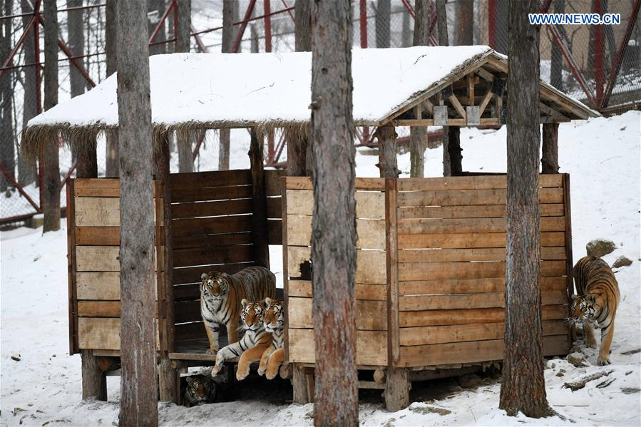 CHINA-HEILONGJIANG-SIBERIAN TIGER (CN)