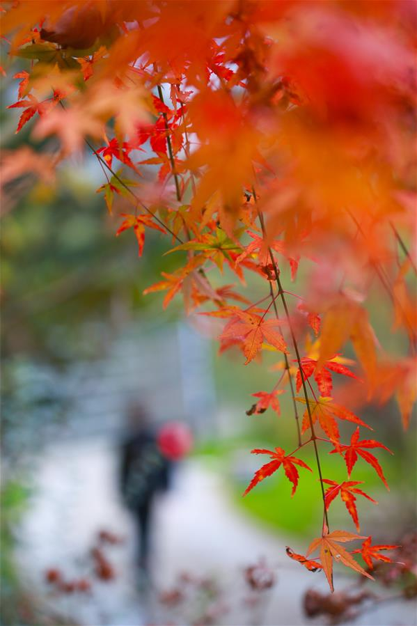 CHINA-MAPLE LEAVES-SCENERY (CN)
