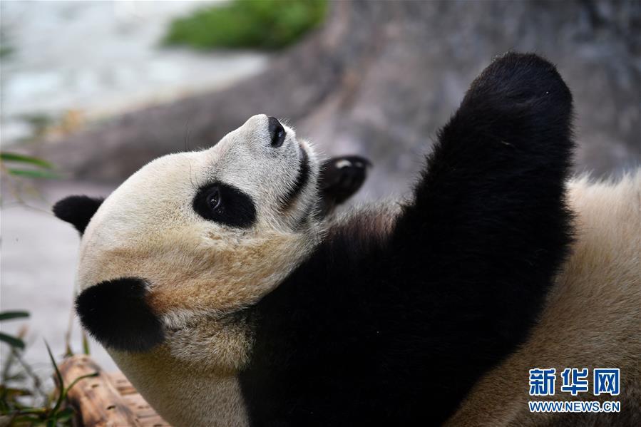 (社会)(3)大熊猫亮相海口