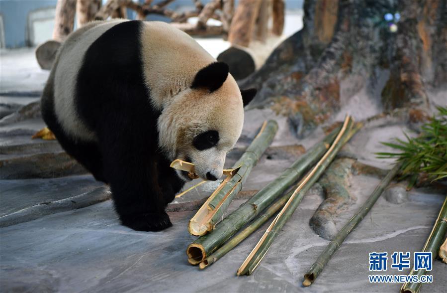 (社会)(2)大熊猫亮相海口