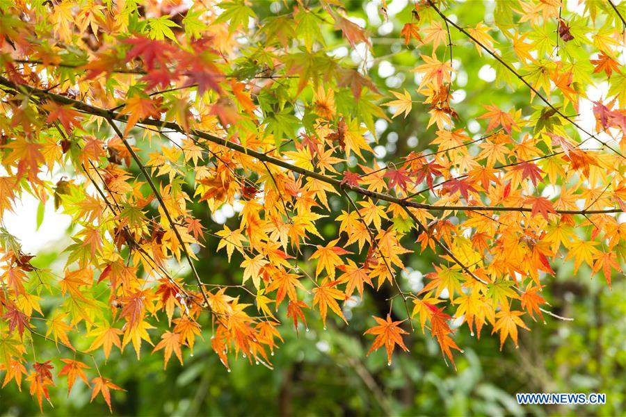 CHINA-HUBEI-YICHANG-MAPLE (CN)