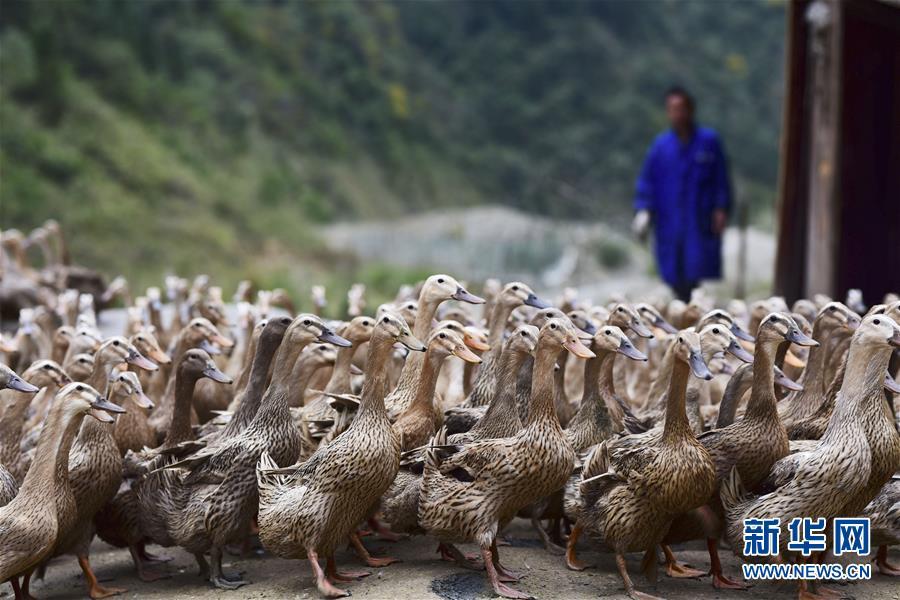 """#(图片故事)(1)""""鸭司令""""的养殖致富梦"""