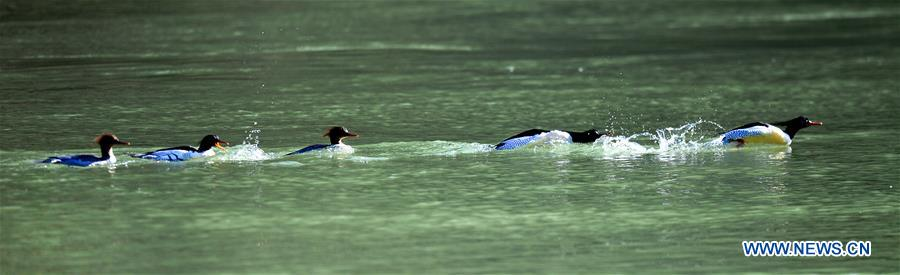 CHINA-JIANGXI-LONGHU MOUNTAIN-CHINESE MERGANSERS (CN)