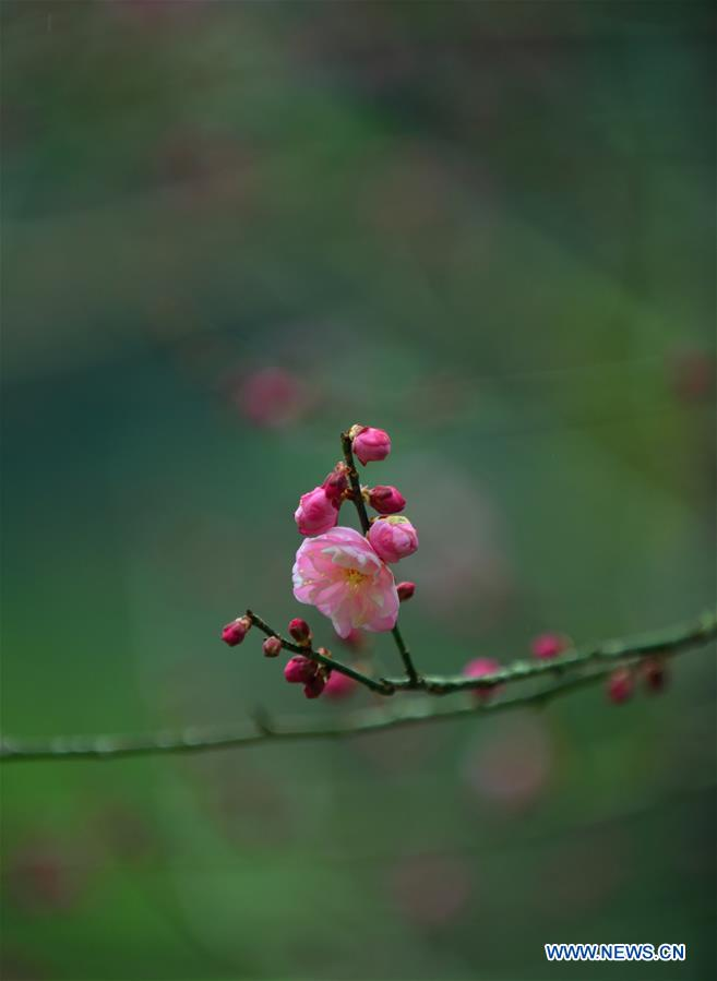 Plum blossoms in Xuan'en County, central China's Hubei