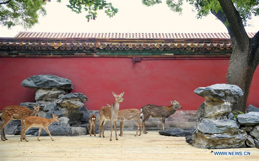 In pics: sika deer in Palace Museum in Beijing