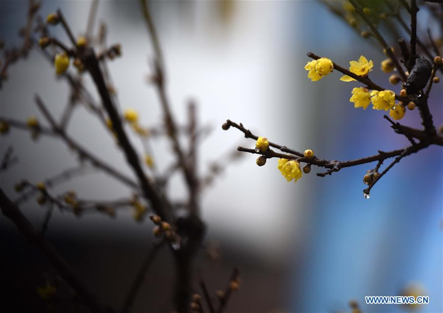 Plum blossoms in east China's Jiangsu