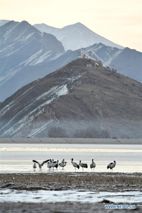CHINA-LHASA-BLACK-NECKED CRANES (CN)