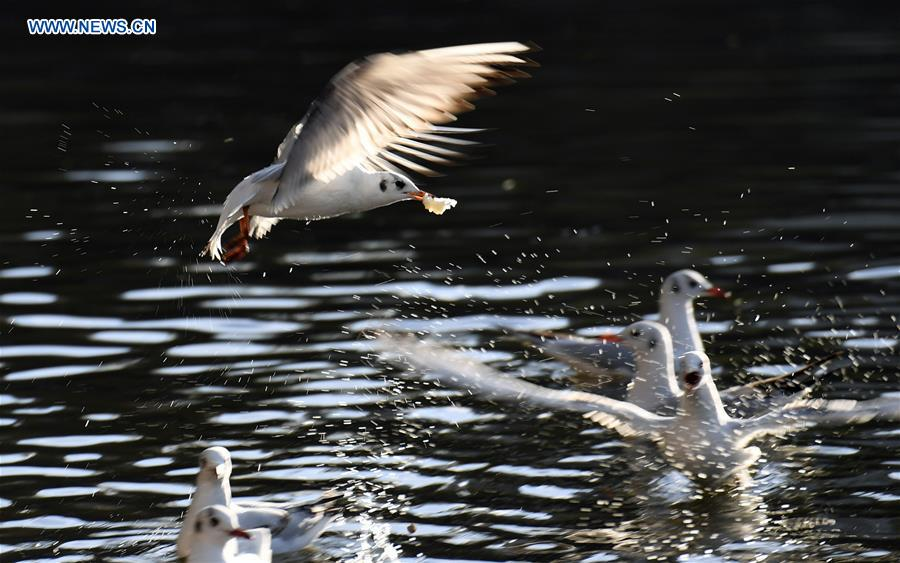 CHINA-KUNMING-RED-BILLED GULLS (CN)