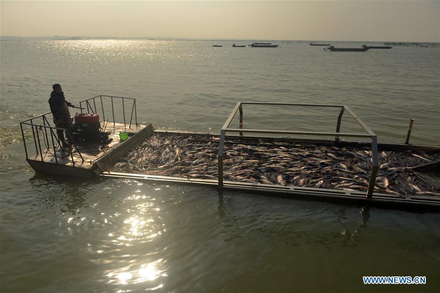 Fishermen harvest fish on Chengdong Lake in E China's Anhui