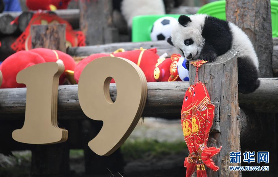 (社会)(1)大熊猫宝宝贺新春