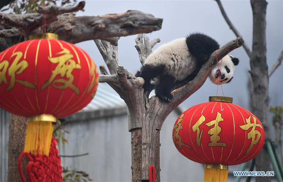 Giant pandas made group appearance to greet upcoming Spring Festival in China's Sichuan