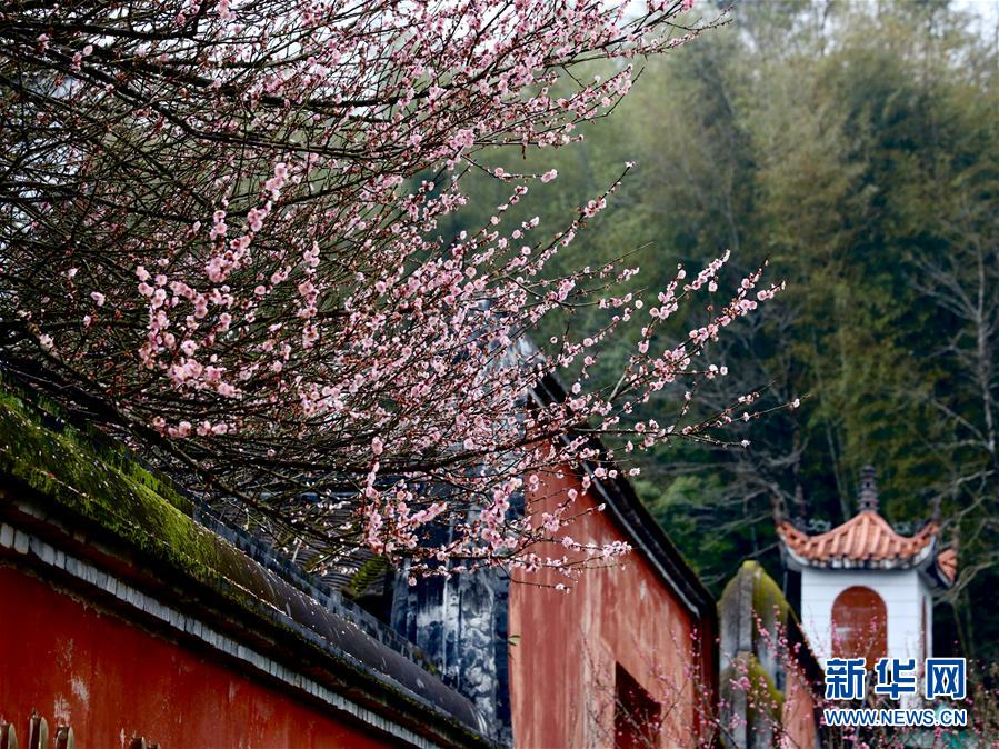 (春季美麗生態)(6)福州:古寺梅香