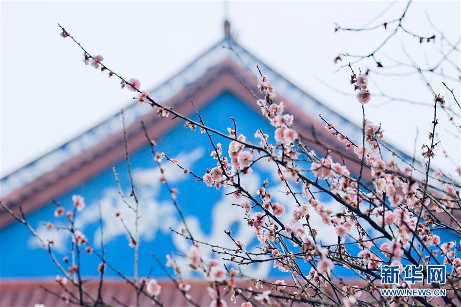 (春季美麗生態)(2)福州:古寺梅香