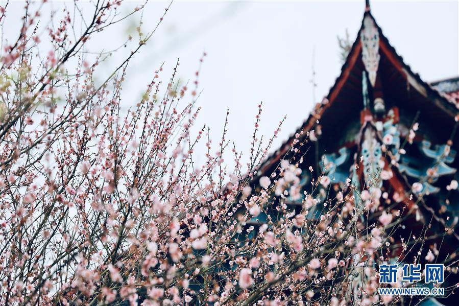 (春季美麗生態)(5)福州:古寺梅香