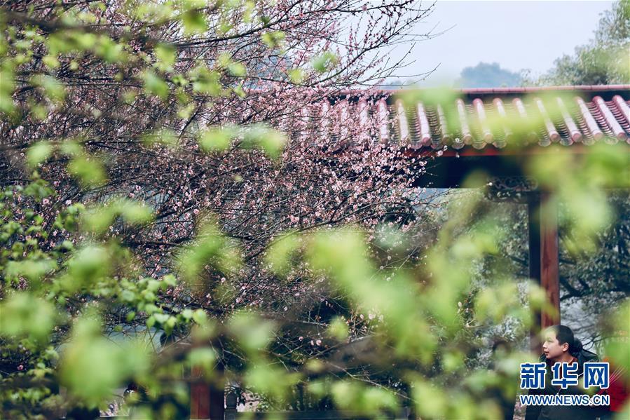 (春季美麗生態)(3)福州:古寺梅香