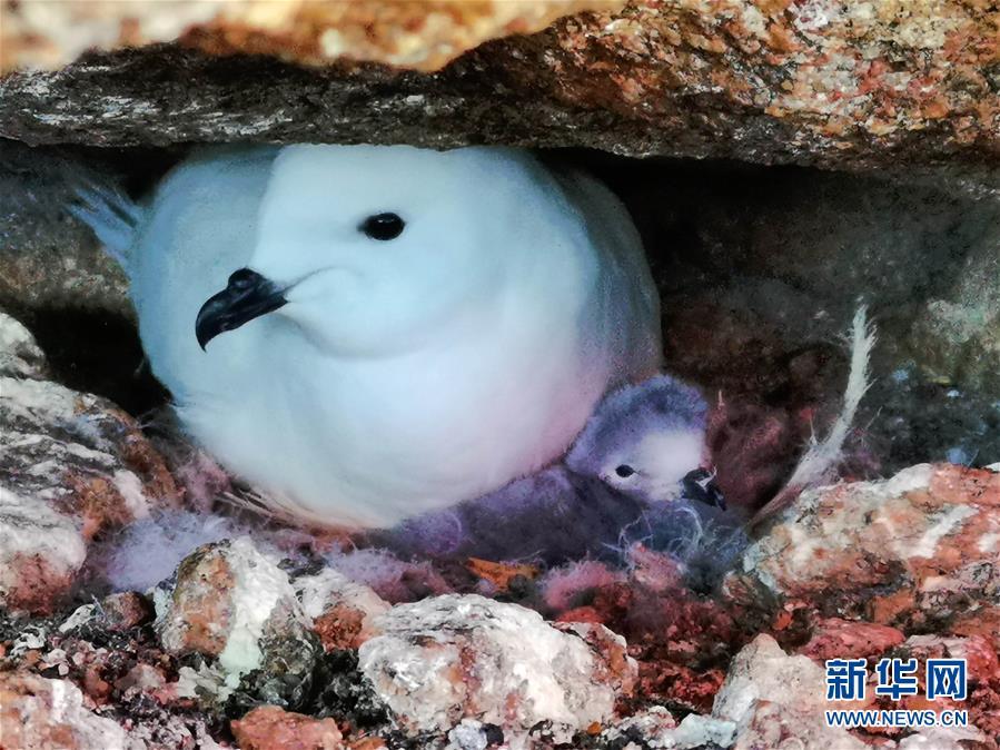 (第35次南极科考・图文互动)(6)中国首次利用红外相机自动监测南极雪海燕