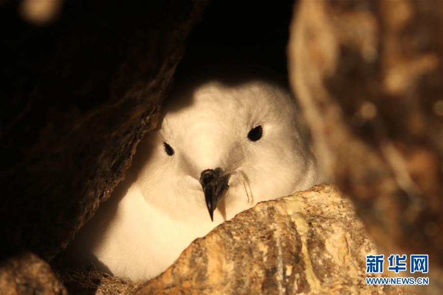 (第35次南极科考・图文互动)(3)中国首次利用红外相机自动监测南极雪海燕