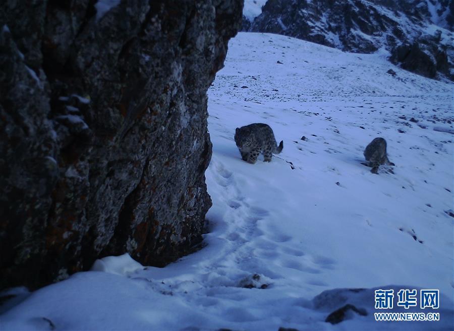 (图文互动)(1)新疆:天山冬季雪豹调查取得阶段性成果