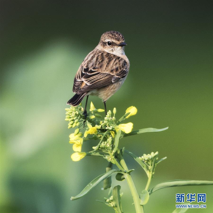 (环境)(2)福州:早春枝头鸟儿俏