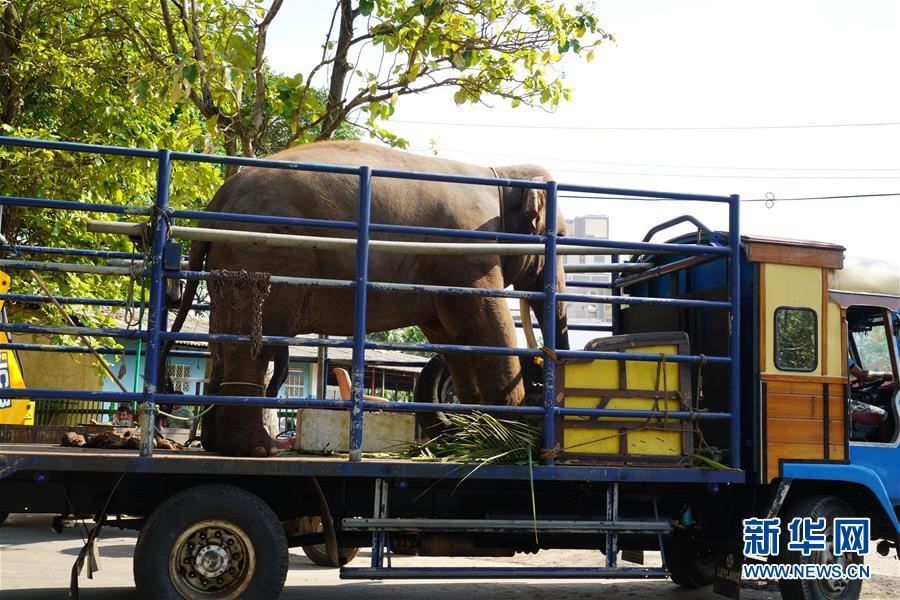 """(国际・图文互动)(1)探访科伦坡""""纳瓦姆月圆节""""游行大象营地"""