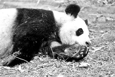 """29岁高龄熊猫""""娅娅"""" 已被接回熊猫基地养老"""